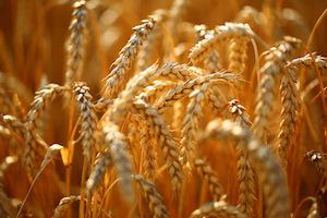 golden field of grains